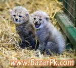 Cheetah Cubs, Lion Cubs And Tiger Cubs For Sale